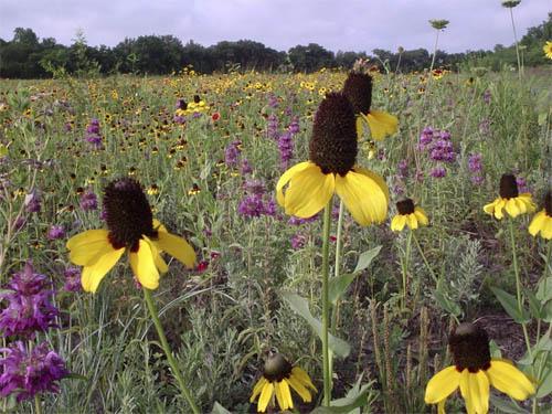 spring texas native wildflowers.jfif